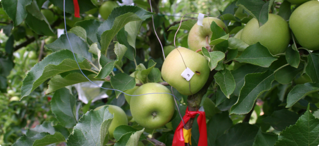 Thermocouples inserted into Cripps Pink apples to measure the fruit surface temperature