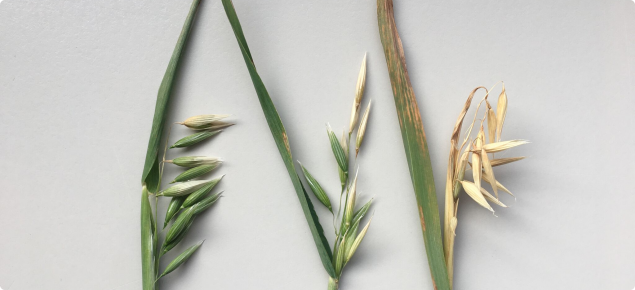 Frost affected oats