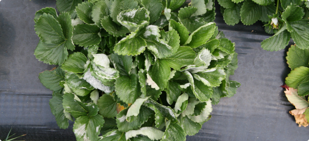 Severe powdery mildew infection on strawberry