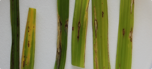 Rice blast lesion on detached rice leaves