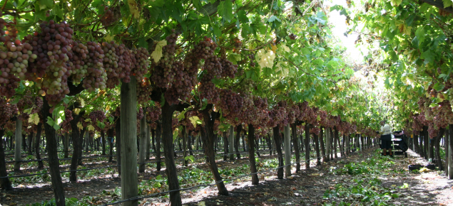 Table grapes being grown in Boyanup