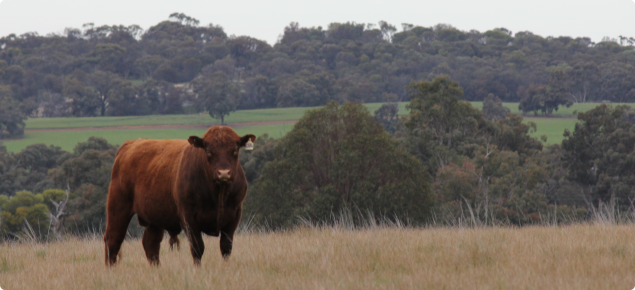 Bull standing in a paddock