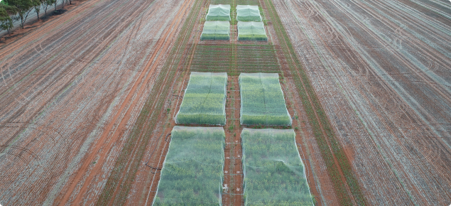 Very early sown canola variety trial at Mullewa 2019, early July (Photo credit Stephanie Boyce)Very early sown canola variety trial at Mullewa 2019, early July (Photo credit Stephanie Boyce)