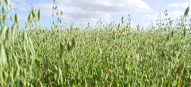 Eye level view of an oat plot with pannicles open prior to haying off.