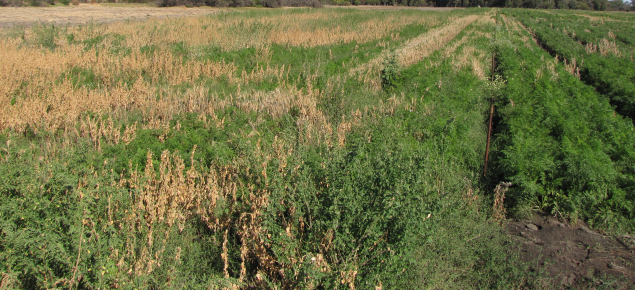 Carrot crop severely affected by root-knot nematode being out-competed by weeds