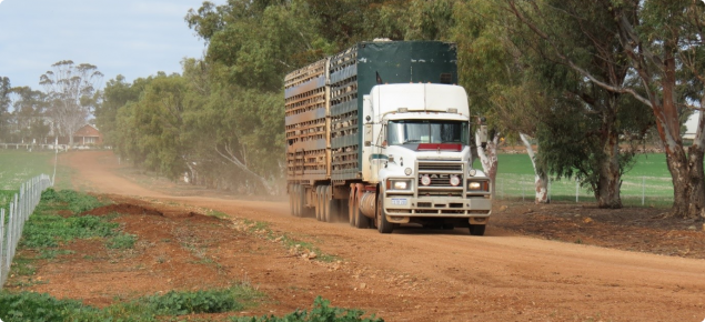 A truck transporting cattle