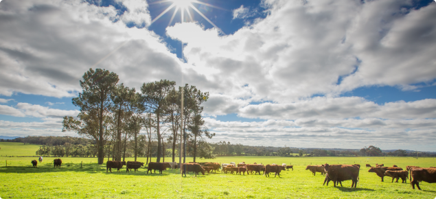 Cows grazing pasture in the Great Southern