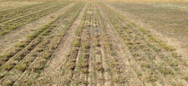 Early barley shoots emerging from dormant (dry, browned off) perennials in trial plot.