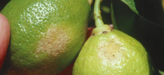 Kellys citrus thrips damage to lemons