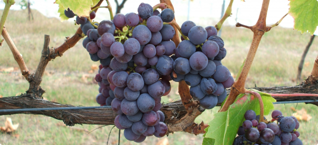 Kadarka wine grapes