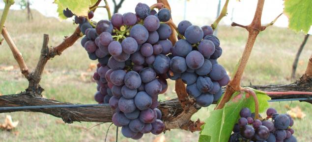 Kadarka wine grapes