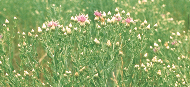 Creeping knapweed plants may reach up to one metre in  height.