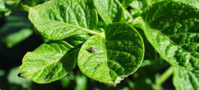 Potato leafminer fly adult. This insect is a major pest of potato crops in Indonesia
