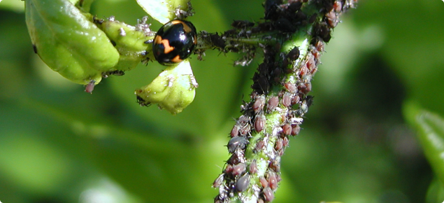 Citrus aphids and predatory ladybug