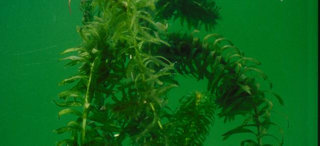Lagarosiphon (Lagarosiphon major) is an aquatic weed
