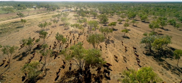Lamboo Station, Aerial 4 - cattle moving