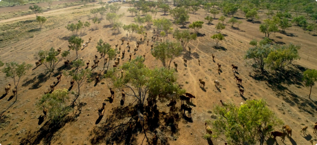 Aerial image of cattle on a pastoral property