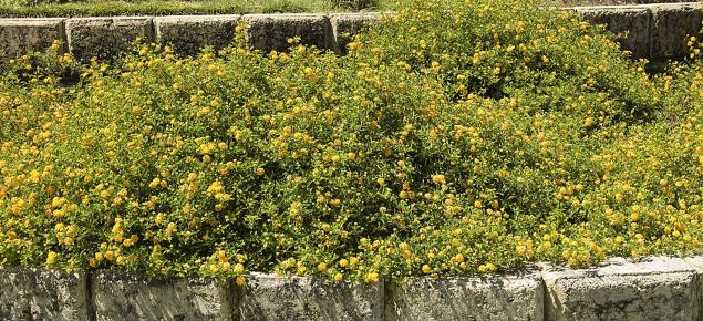Lantana camara shrub