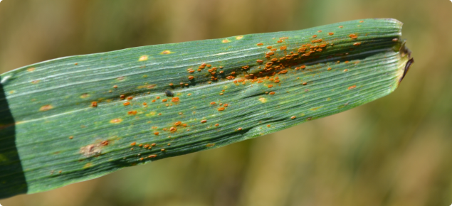 Wheat Leaf rust pustules are orange-brown in colour, circular to oval in shape and usually found scattered on the upper surface of leaves.