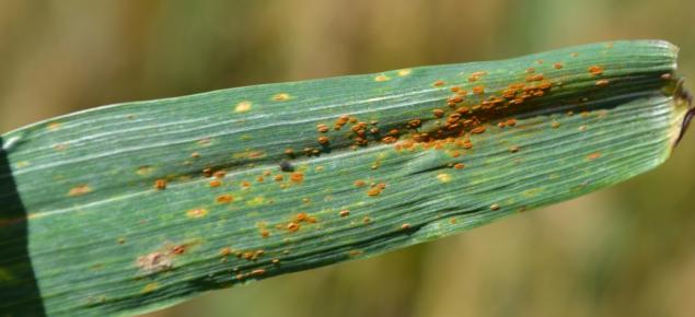 Leaf rust on wheat variety Wyalkatchem