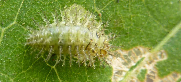Leaf eating ladybird larvae grow up to 8mm long and are covered in branched spines. They feed only on the upper leaf tissue which results in a windowed appearance