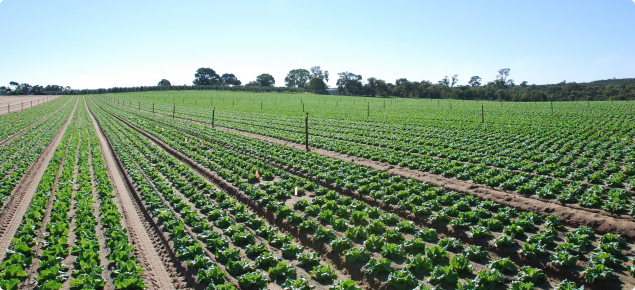 Nitrate leaching beneath vegetable crops needs to be managed