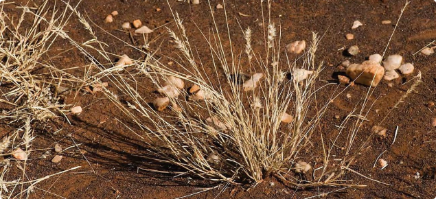 Photograph of Limestone grass (Enneapogon polyphyllus) in the Kimberley