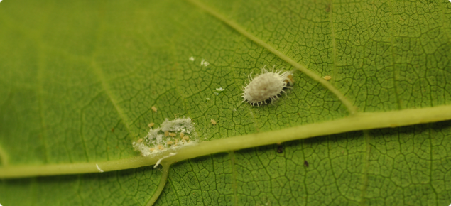 Longtailed mealybugs with small crawler life cycle stage on a grape leaf