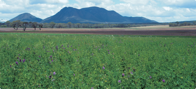 Paddock of lucerne in the Great Southern area