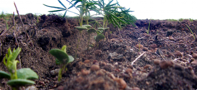 Narrow-leafed lupin seedlings emerging from the soil. Seven seedlings can be clearly seen in close-up. The two closest seedlings have their cotyledons open and leaflets emerging. Other seedlings are more advanced with four or five open leaves.