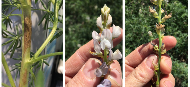 Lupins frost guide