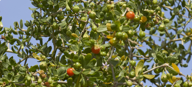 African boxthorn berries