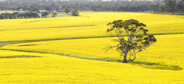Canola crop in flower in the Western Australian wheatbelt