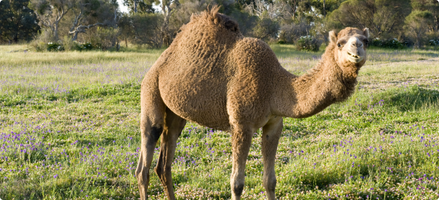 Camel standing side on in a green paddock.