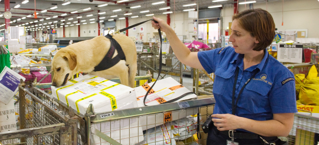 Female Quarantine officer holding onto leash of detector dog which is searching through parcels inspecting parcels at the Australia Post express mail centre.