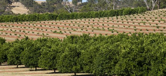 Citrus orchard in WA