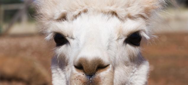 Head profile of a white alpaca