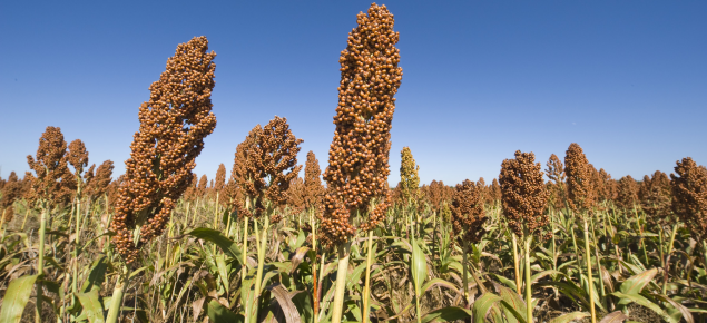 Sorghum near Esperance as a summer crop