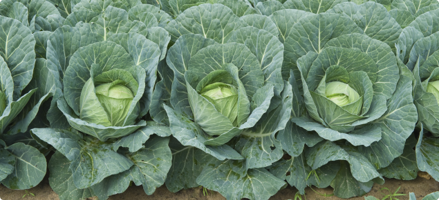 Cabbage crop