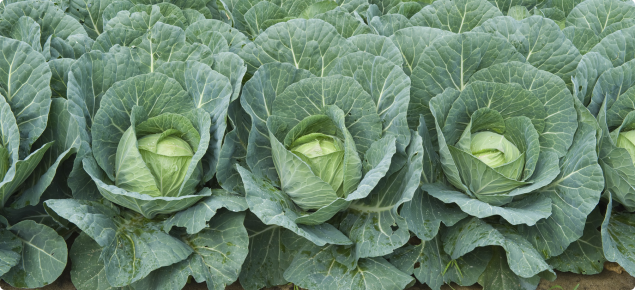 Cabbage plants almost ready for harvest