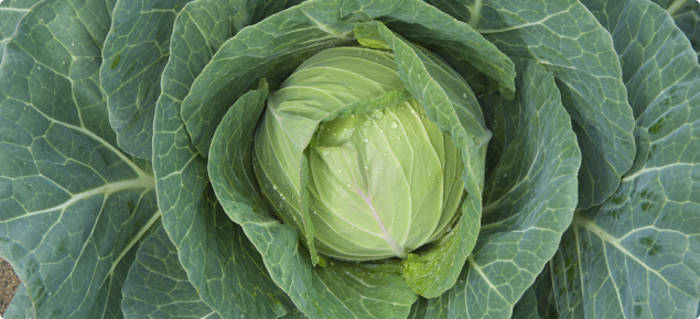 Cabbage ready for harvest