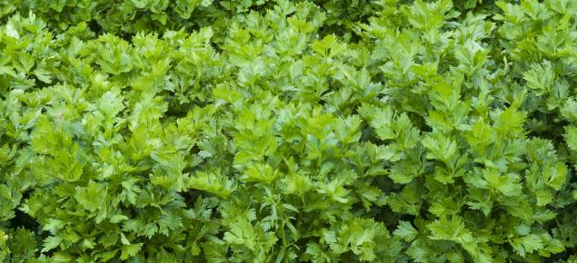 Maturing celery crop