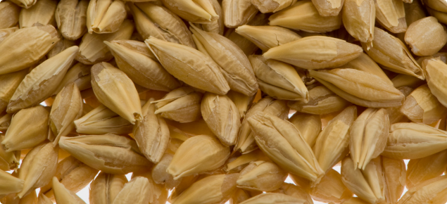 Close-up of a handful of barley grain