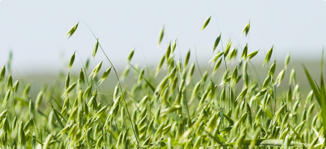 An eye level picture of a green oat crop with pannicles fully emerged.  The foreground is focussed on pannicles.