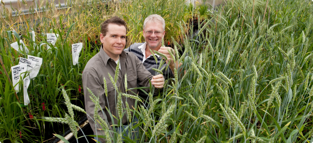 Researchers in glasshouse of new wheat germplasm