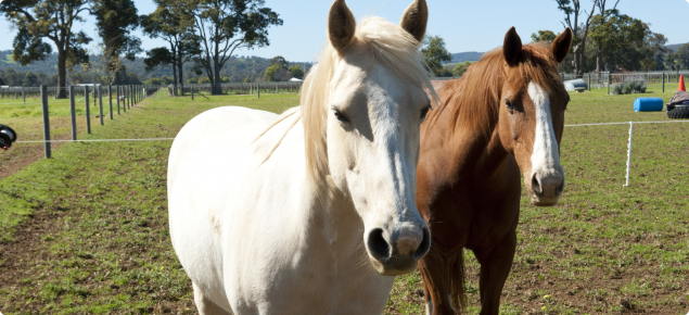 A grey and chestnut horse standing side by side in a green paddock.