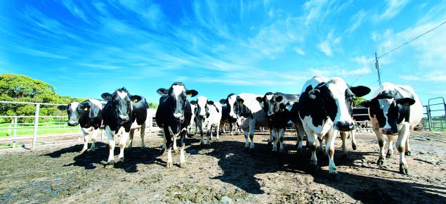 Dairy cattle walking down road