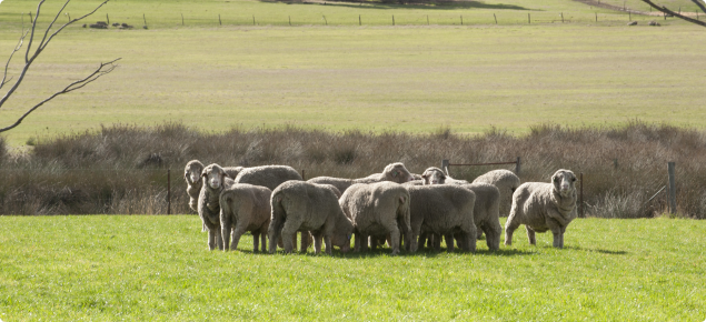 A mob of sheep in a paddock used for rotational grazing