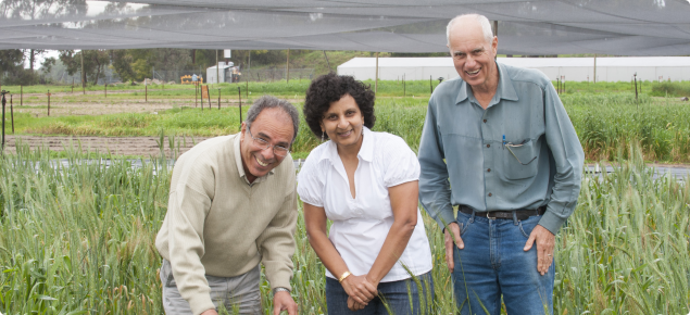 Researchers evaluating disease in wheat