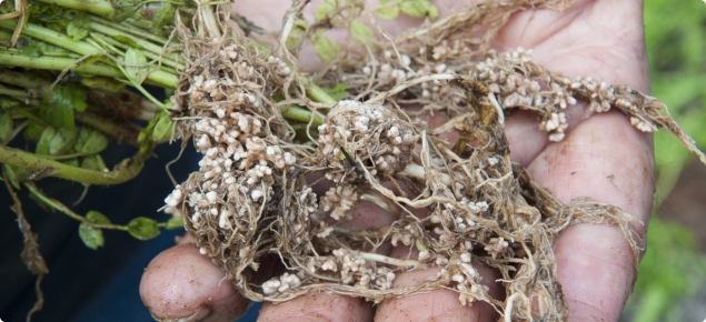 hand holding legume pasture roots with nodules showing good innoculation